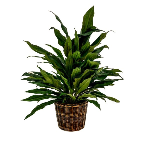 4' Aspidistra in Willow Basket